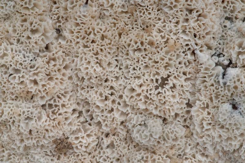 Texture of frothy porecrust fungus (Oxyporus latemarginatus) on remains of a removed oak stump in Washington-on-the-Brazos State Historic Site. Washington, Texas, January 24, 2021