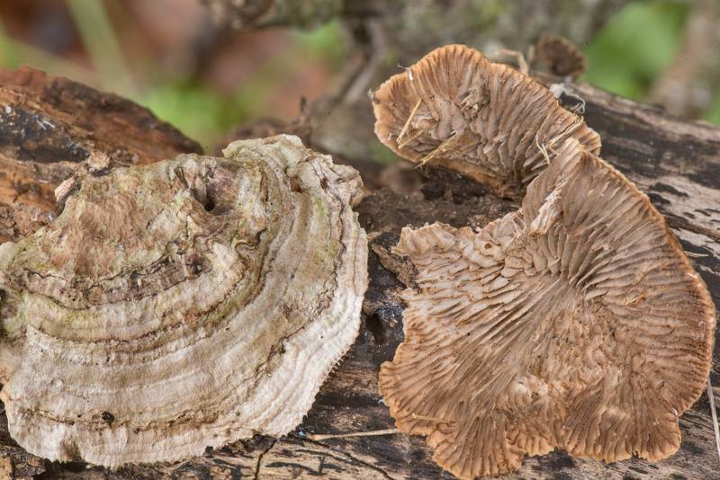 Polypore mushrooms Gloeophyllum striatum or may be Trametes acuta (size of the largest cap 3 cm) on a dry fallen branch of a large Huisache tree (Acacia farnesiana) in Washington-on-the-Brazos State Historic Site. Washington, Texas, January 24, 2021