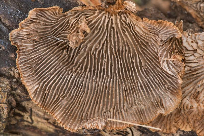 Gills of polypore mushrooms Gloeophyllum striatum or may be Trametes acuta on a dry fallen branch of a large Huisache tree (Acacia farnesiana) in Washington-on-the-Brazos State Historic Site. Washington, Texas, January 24, 2021