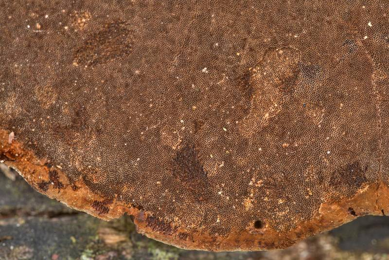 Brown pores of bracket polypore mushroom Phellinus badius (Phellinus rimosus group) on a living Huisache tree in Washington-on-the-Brazos State Historic Site. Washington, Texas, January 24, 2021