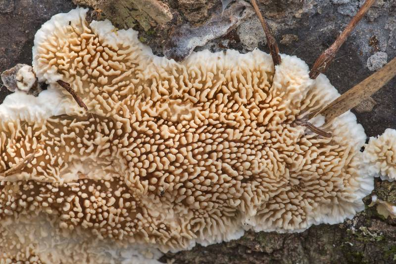 Hydnoid mushroom Steccherinum oreophilum on underside of a fallen oak branch in Lick Creek Park. College Station, Texas, January 25, 2021