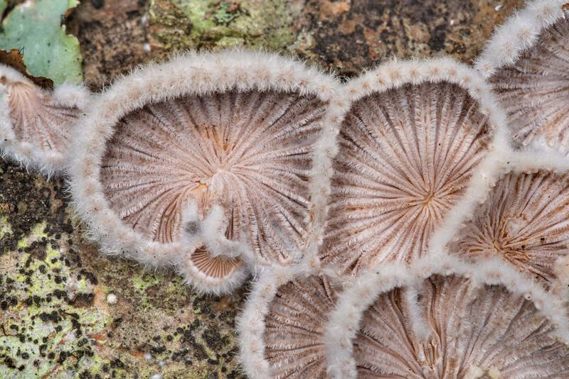 "Close-up of splitgill mushrooms (<B>Schizophyllum commune</B>) on a fallen oak on Caney Creek Trail (Little Lake Creek Loop Trail) in Sam Houston National Forest north from Montgomery. Texas, <A HREF=""../date-en/2021-01-30.htm"">January 30, 2021</A>"