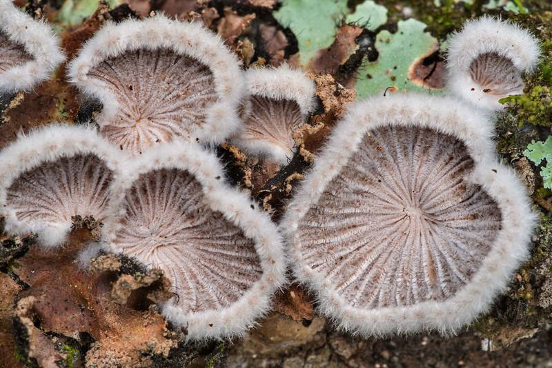 "Underside of splitgill mushrooms (<B>Schizophyllum commune</B>) on a fallen oak limb on Caney Creek Trail (Little Lake Creek Loop Trail) in Sam Houston National Forest north from Montgomery. Texas, <A HREF=""../date-en/2021-01-30.htm"">January 30, 2021</A>"