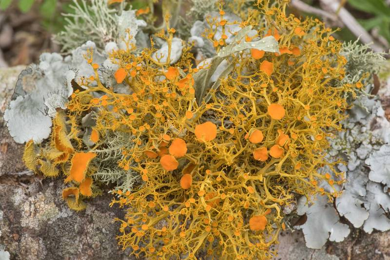 "Slender orange-bush lichen (<B>Teloschistes exilis</B>) on a fallen oak twig at Lake Somerville Trailway near Birch Creek Unit of Somerville Lake State Park. Texas, <A HREF=""../date-en/2021-02-24.htm"">February 24, 2021</A>"