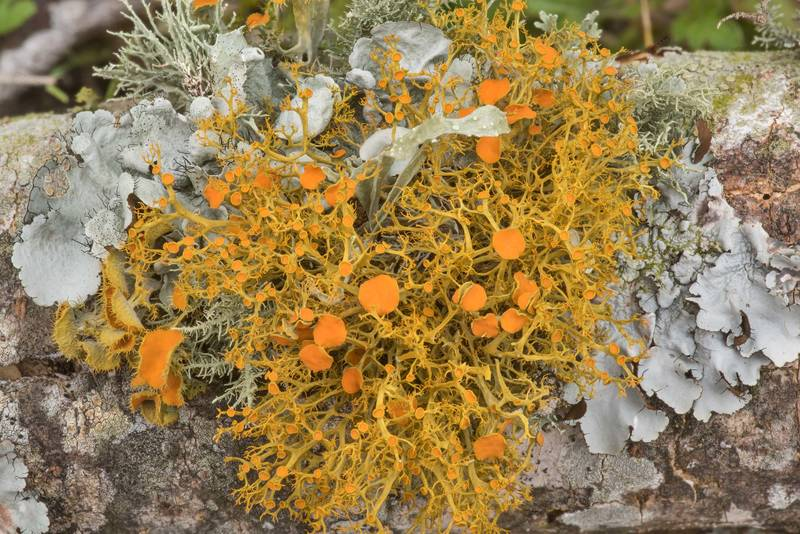 "Slender orange-bush lichen (<B>Teloschistes exilis</B>) together with T. chrysophthalmus, Ramallina and Parmotrema on a fallen oak twig at Lake Somerville Trailway near Birch Creek Unit of Somerville Lake State Park. Texas, <A HREF=""../date-en/2021-02-24.htm"">February 24, 2021</A>"