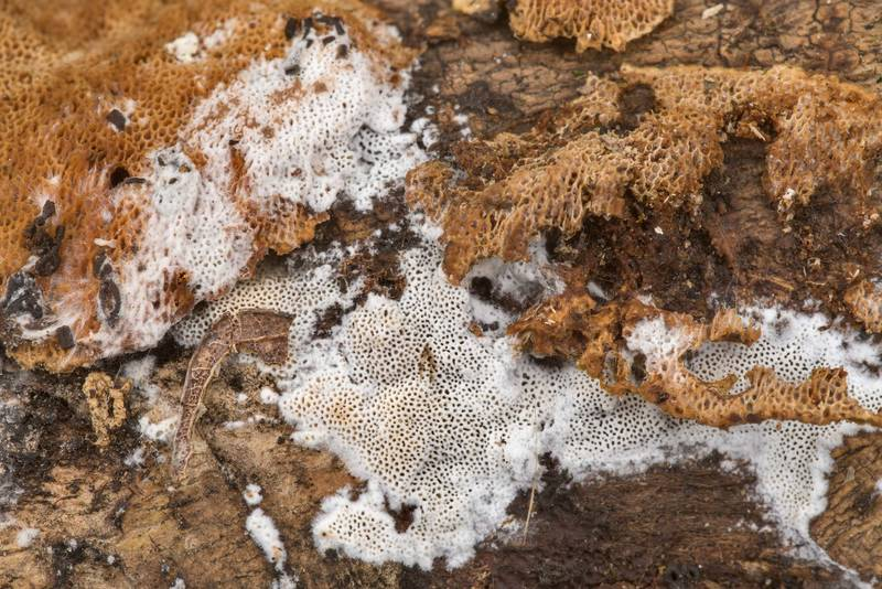 "Old and freshly grown resupinate polypore mushroom <B>Elmerina caryae</B> on an oak log in Hensel Park. College Station, Texas, <A HREF=""../date-en/2021-02-27.htm"">February 27, 2021</A>"