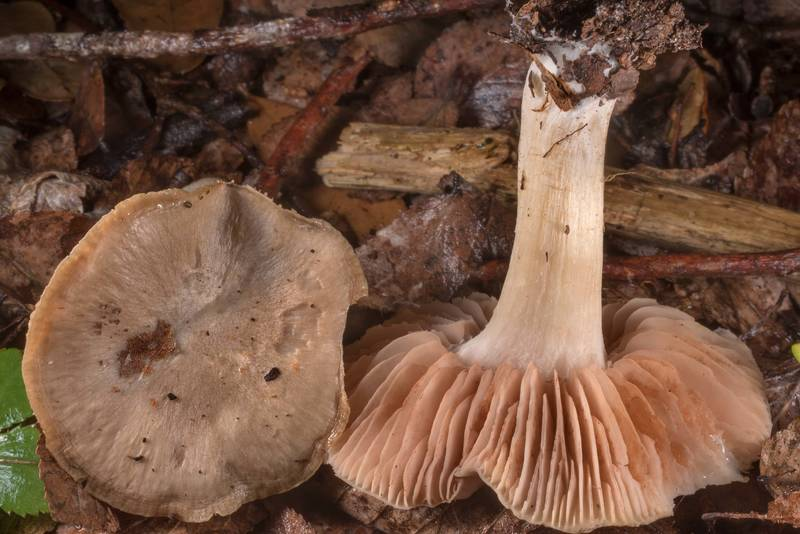Cap and gills of pinkgill (Entoloma) mushrooms in Washington-on-the-Brazos State Historic Site. Washington, Texas, March 14, 2021