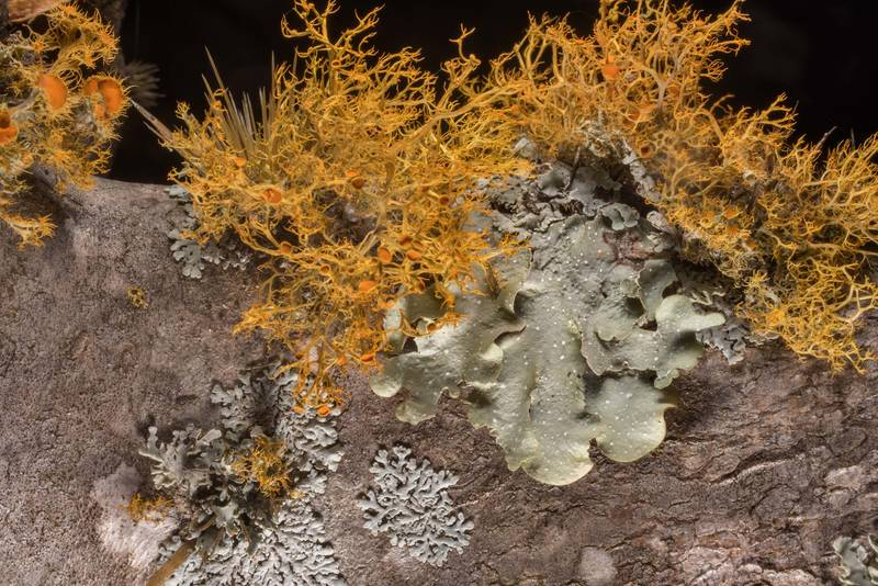 Slender orange-bush lichen (Teloschistes exilis) together with Parmotrema and Physcia on an old pad of prickly pear cactus in McKinney Roughs Nature Park near Austin. Texas, March 17, 2021
