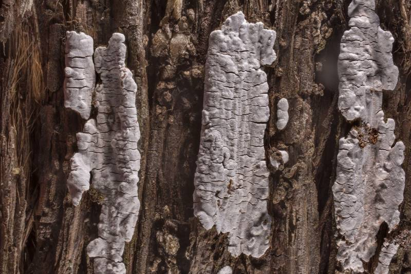 Corticioid mushroom Dendrothele nivosa on bark of Eastern red cedar (Juniper) in McKinney Roughs Nature Park near Austin. Texas, March 17, 2021
