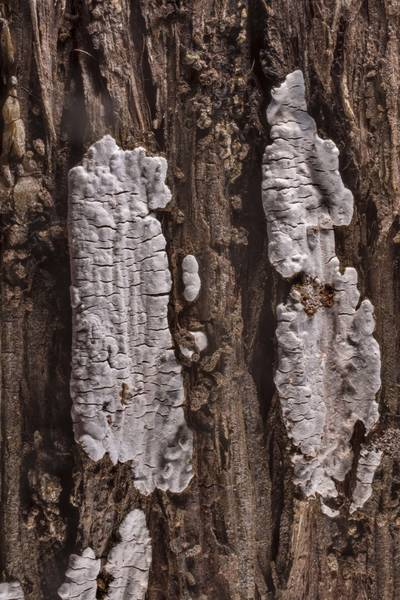 Close-up of corticioid fungus Dendrothele nivosa on bark of Eastern red cedar (Juniper) in McKinney Roughs Nature Park near Austin. Texas, March 17, 2021