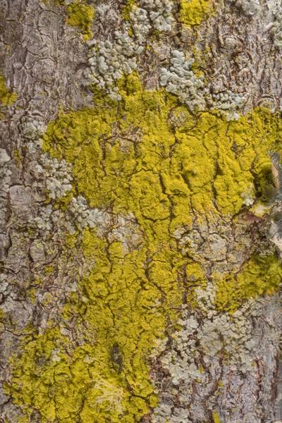Gold dust lichen (Chrysothrix xanthina) in McKinney Roughs Nature Park near Austin. Texas, March 17, 2021