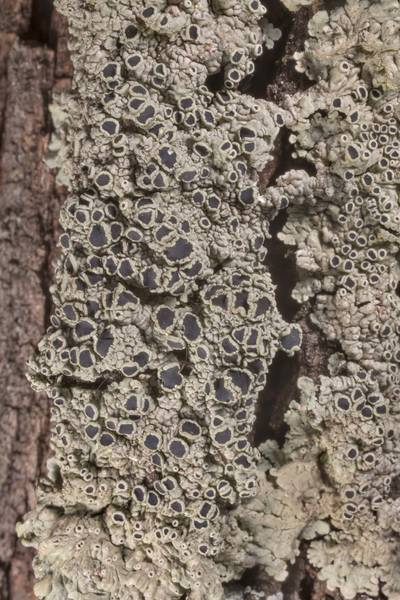Medallion lichen Dirinaria confusa with black apothecia on juniper bark in McKinney Roughs Nature Park near Austin. Texas, March 17, 2021