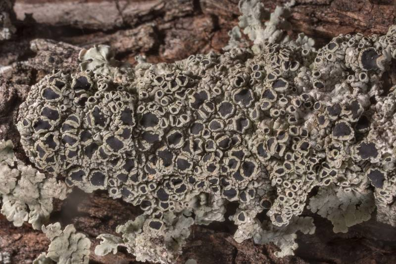 Close-up of medallion lichen Dirinaria confusa with black apothecia on juniper bark in McKinney Roughs Nature Park near Austin. Texas, March 17, 2021