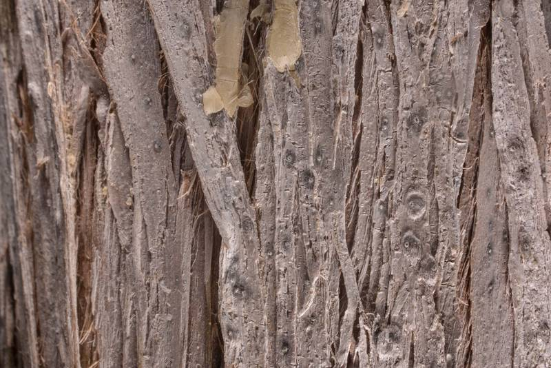 Close-up of white juniper fungus (Robergea albicedrae) small gray nodules where spores are produced on bark of a young Juniperus ashei tree in McKinney Roughs Nature Park near Austin. Texas, March 17, 2021