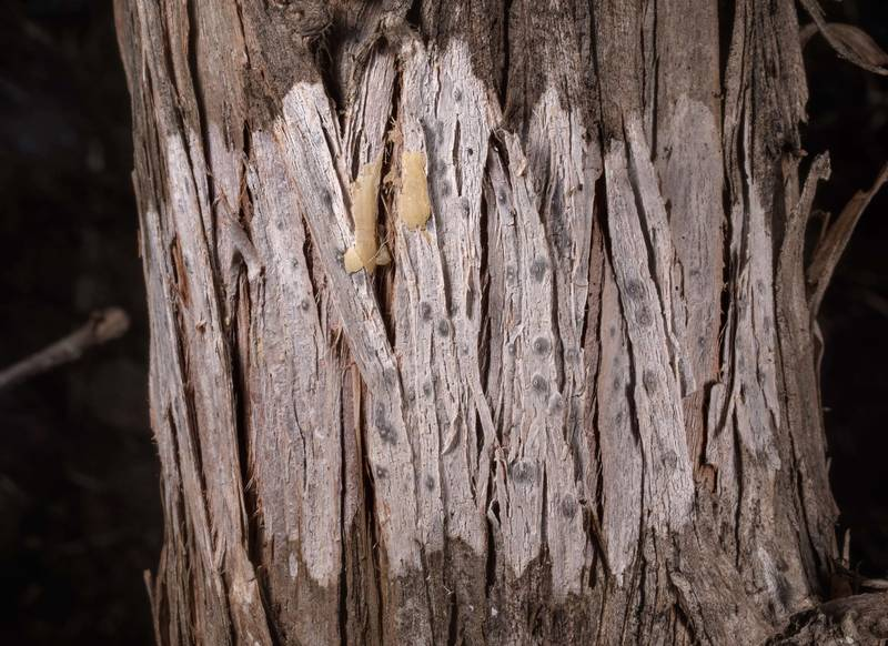 Typical whitening pattern on bark of Ashe juniper with a fungus Robergea albicedrae in McKinney Roughs Nature Park near Austin. Texas, March 17, 2021