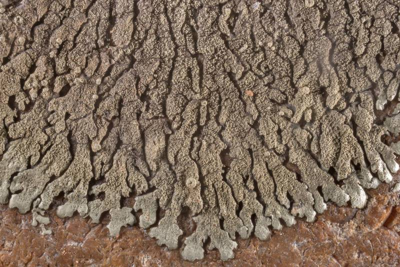 Details of salted rock-shield lichen (Xanthoparmelia mexicana) or may be other Xanthoparmelia on an exposed flint stone in open area in a forest in McKinney Roughs Nature Park near Austin. Texas, March 17, 2021
