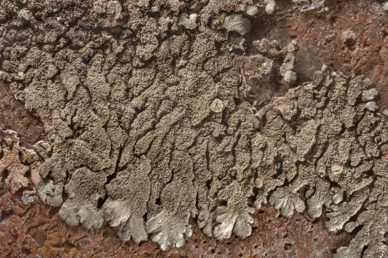 Close-up of salted rock-shield lichen (Xanthoparmelia mexicana) or may be other Xanthoparmelia on an exposed flint stone in open area in a forest in McKinney Roughs Nature Park near Austin. Texas, March 17, 2021