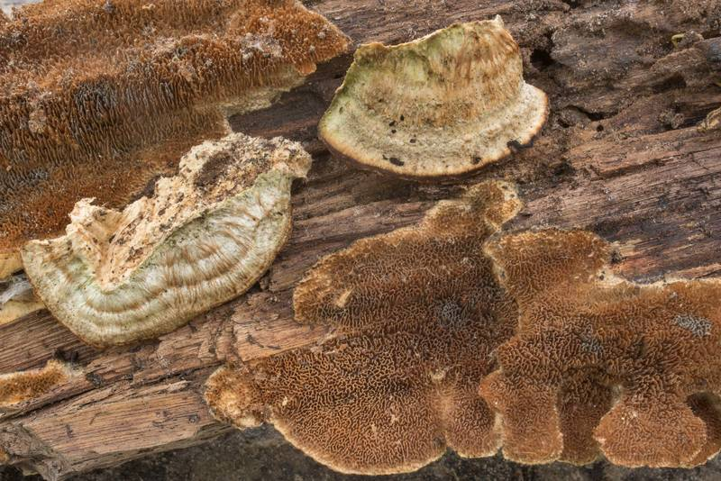 "Mature <B>Trametopsis cervina</B> mushrooms on a barkless log in Hensel Park. College Station, Texas, <A HREF=""../date-en/2021-03-25.htm"">March 25, 2021</A>"